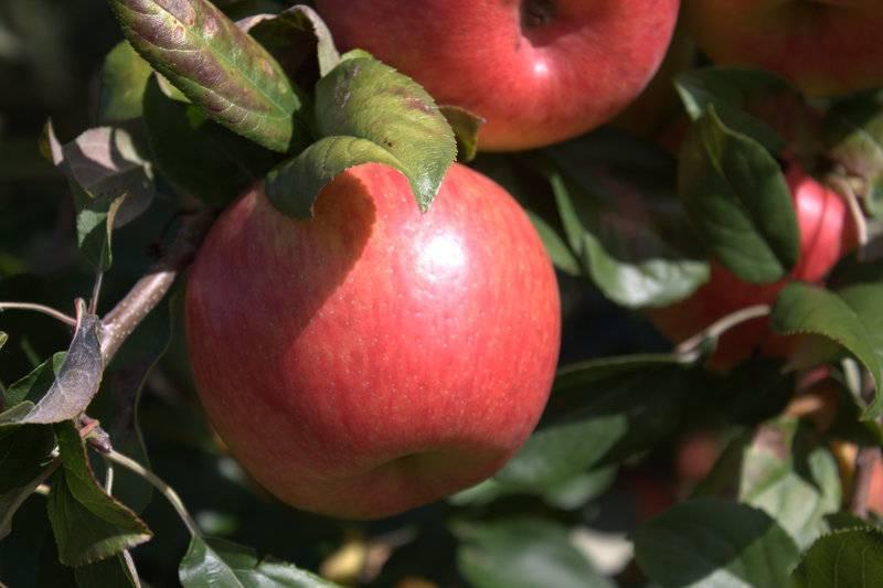 Характеристика яблони хани крисп