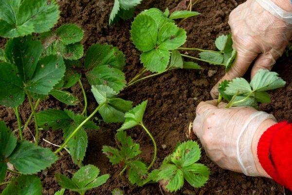 Что можно сажать после клубники, и как быстро восстановить почву