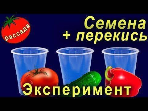 Перекись водорода: копеечная подкормка для здоровых и вкусных огурцов