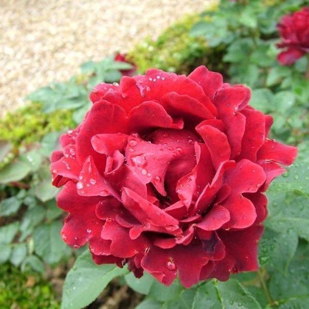Роза чг осиана — на волне любовных страстей