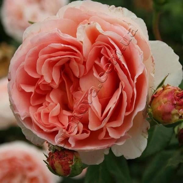 Изысканная английская роза абрахам дерби в вашем саду: от посадки до декора
