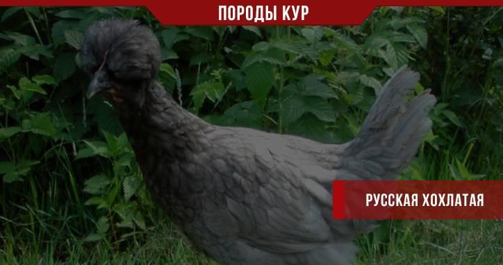 Куры «русская хохлатая»