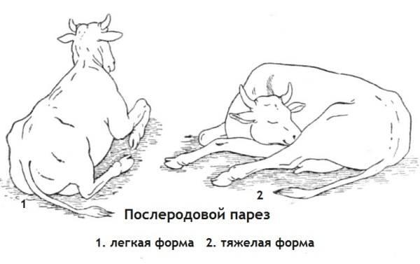 Отел у коров: признаки, подготовка, помощь при нормальных родах |  ветеринарная служба владимирской области