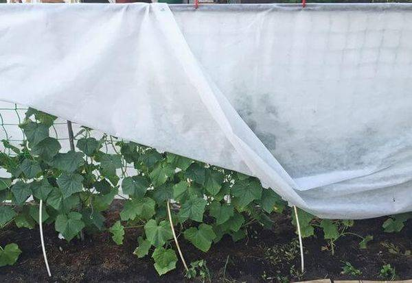 Как выращивать огурцы в парнике из укрывного материала?