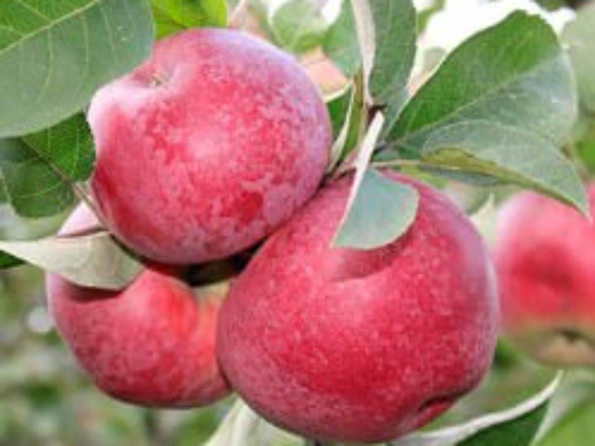 Яблоня лобо: описание сорта и фото, характеристики