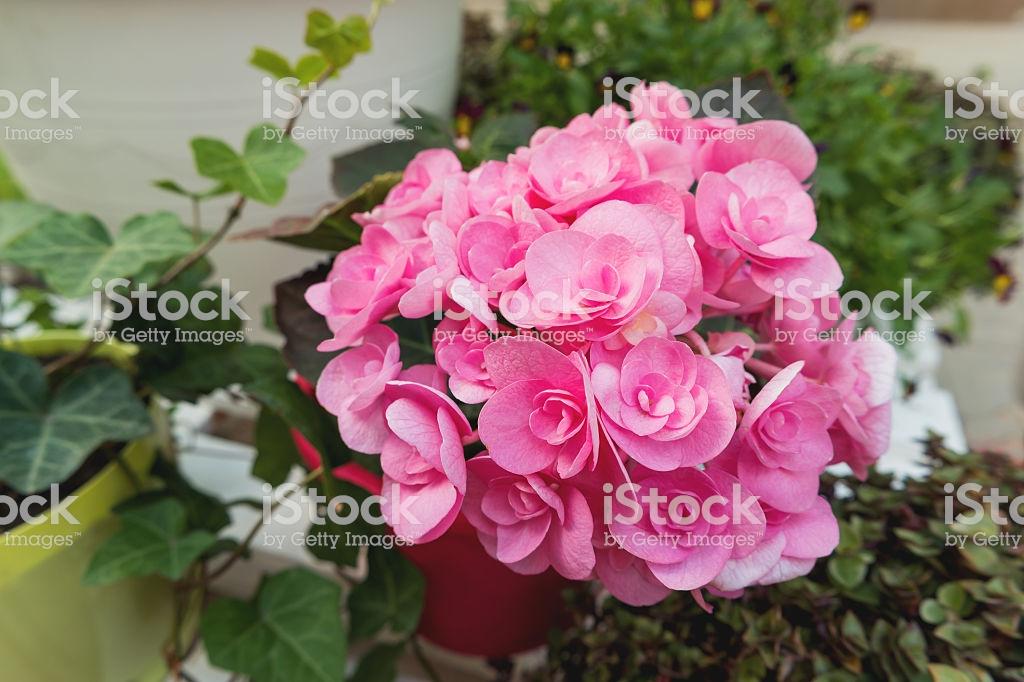 «цветок дождя» гиацинт в горшке: уход в домашних условиях, советы по подготовке луковиц и выращиванию растения с восхитительным ароматом