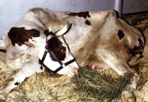Что делать при вздутии живота у коровы, телят, КРС (лечение тимпании рубца)