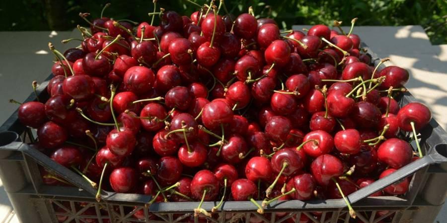 Когда созревает черешня в России и других странах (сезон черешни, урожайность)