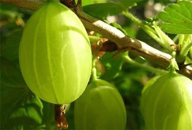 Крыжовник малахит описание — ягоды грибы