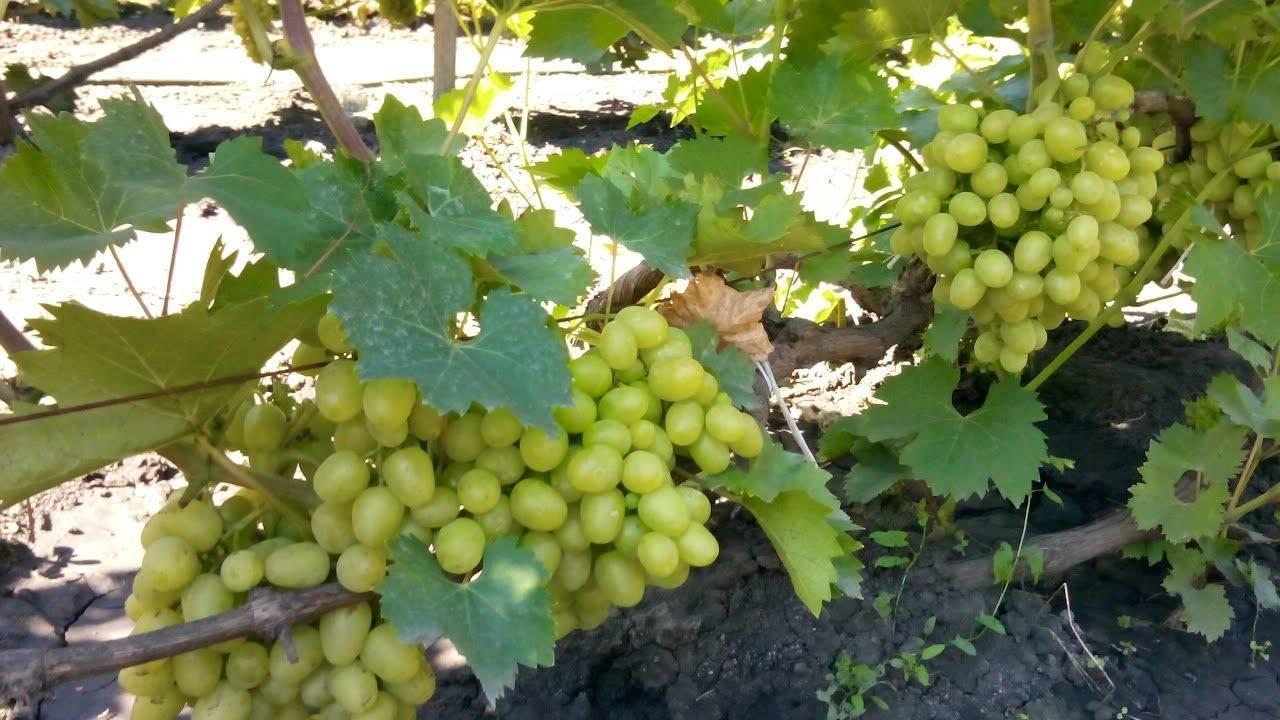 Список лучших фунгицидов для обработки винограда от болезней