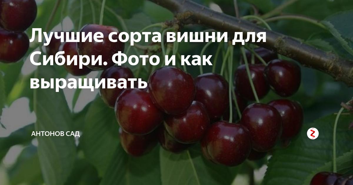 Какие есть сорта вишни для сибири