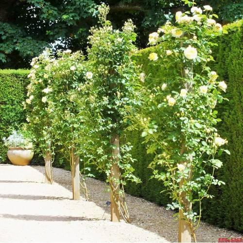 Роза раффлс дрим (ruffles dream) — описание сортового кустарника