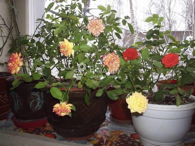 Роза кордана - уход в открытом грунте и в домашних условиях