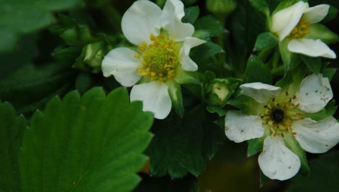 Почему некоторые посаженные кусты клубники не цветут и не плодоносят, что с этим делать