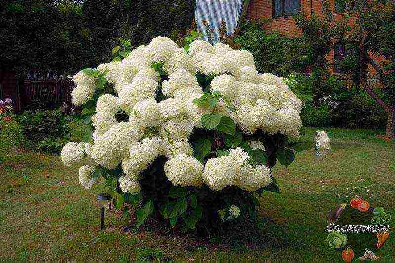Как посадить и вырастить гортензию кустовую: уход за цветком и размножение