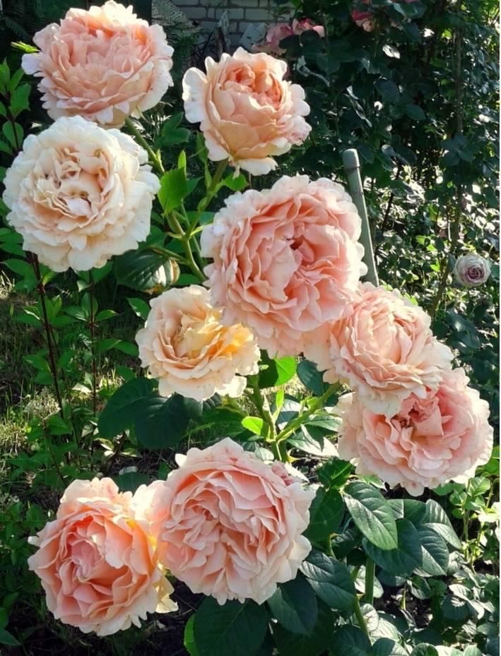 Роза полька – роскошное украшение сада