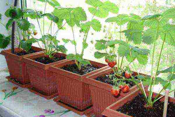 Ампельная клубника: сорта, секреты ухода, особенности выращивания, посадки и пересадки в домашних условиях (95 фото + видео)