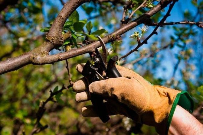Обрезка плодовых деревьев: основные способы, оптимальное время и советы по выбору схемы (70 фото)