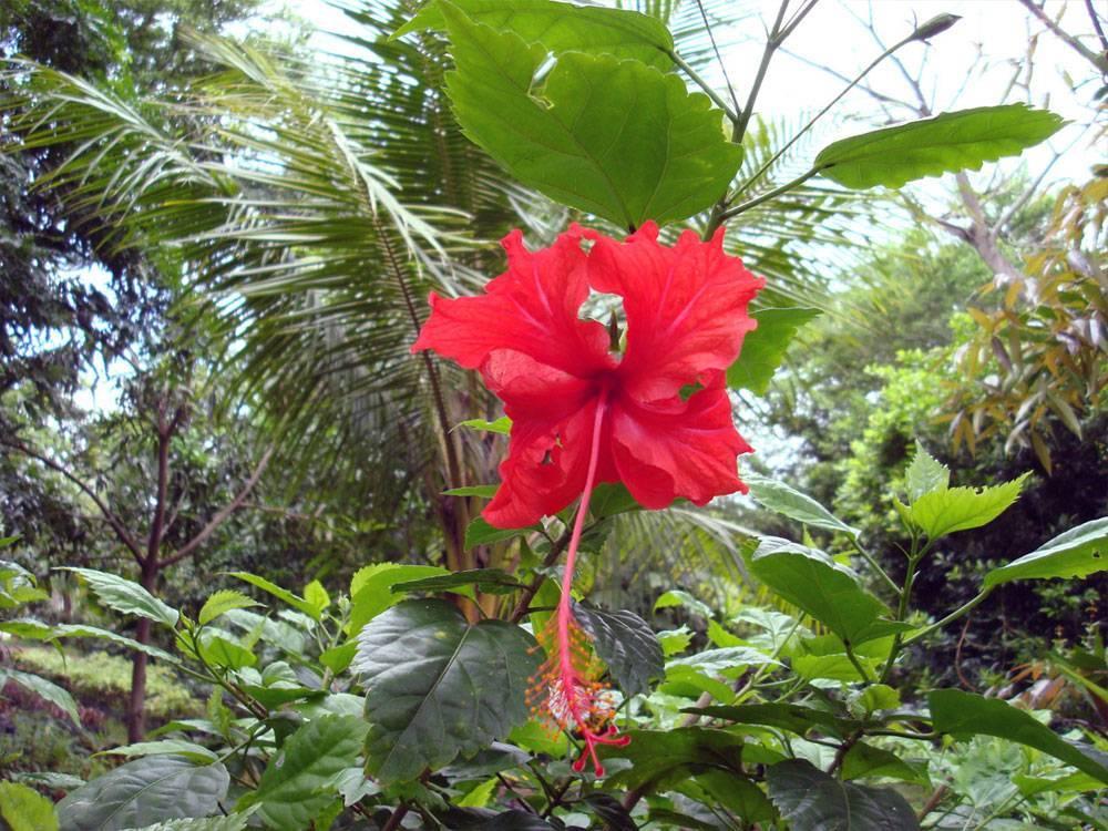 Об уходе за китайской розой в домашних условиях: почему не цветет и что делать