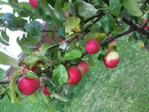 Яблони — сорта и критерии выбора для черноземья