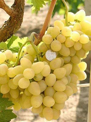 Аркадия – прекрасный морозоустойчивый сорт винограда