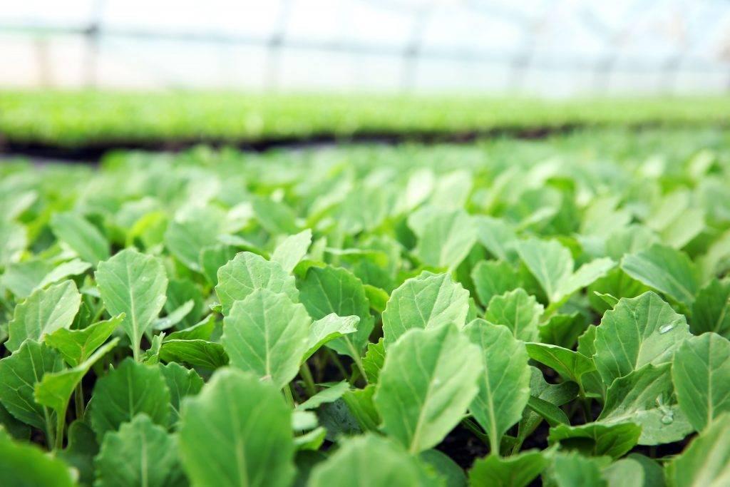 Через сколько дней всходят семена капусты после посева. отчего зависит всхожесть семян - onwomen.ru