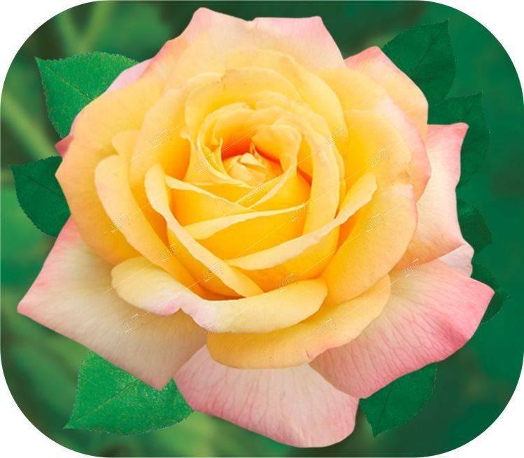 Роза глория дей: описание, фото, посадка и уход