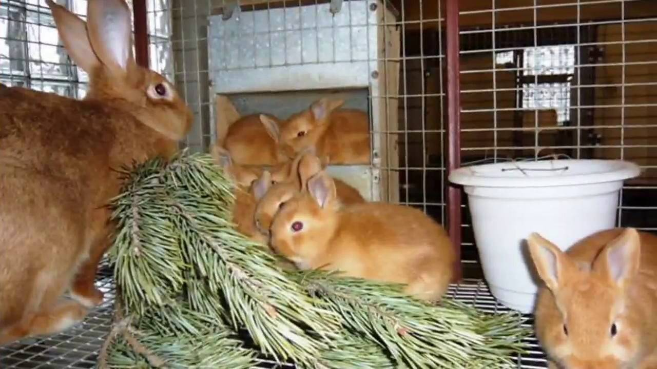 О байкоксе — инструкция по применению для кролика: описание лекарства, дозировка