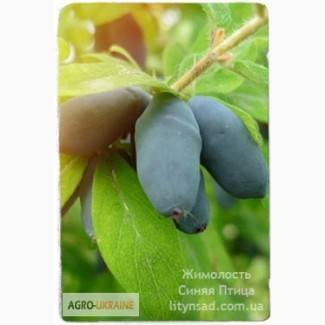 Жимолость голубое веретено: описание и характеристика сорта, особенности выращивания и ухода