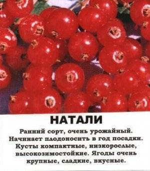 Кисло-сладкий сорт, дающий обильный урожай — красная смородина натали