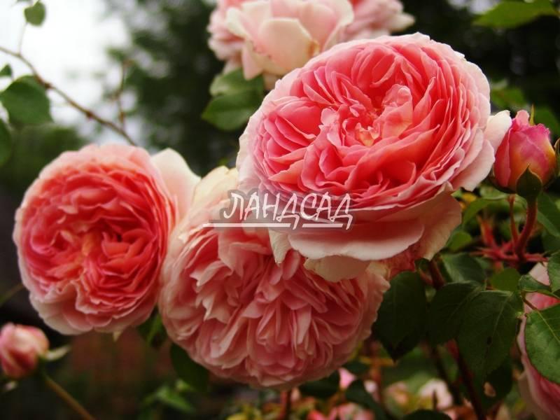 Описание розы «абрахам дерби»: посадка и уход