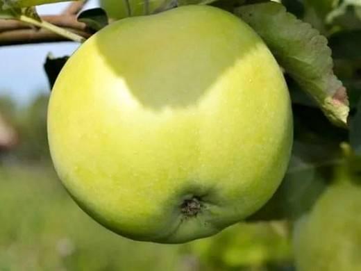 Декоративная яблоня в дизайне сада: фото и описание сортов роялти, недзвецкого, краснолистная, малиновка, китайка, плакучая, ола, рудольф и др.