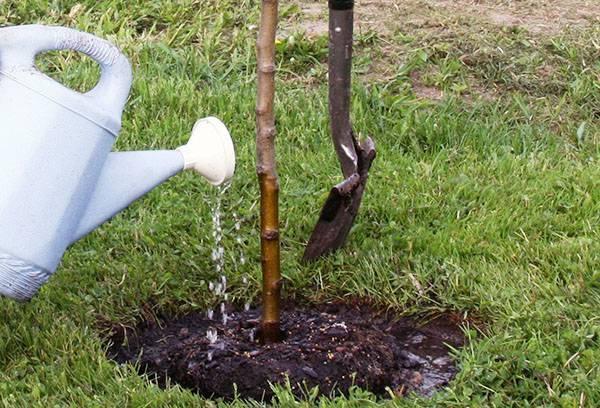 Полив вишни: когда и как поливать