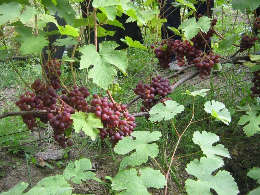 Технические сорта винограда: описание, фото, характеристики и агротехнические особенности