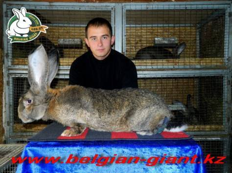 Фландр - слон среди кроликов