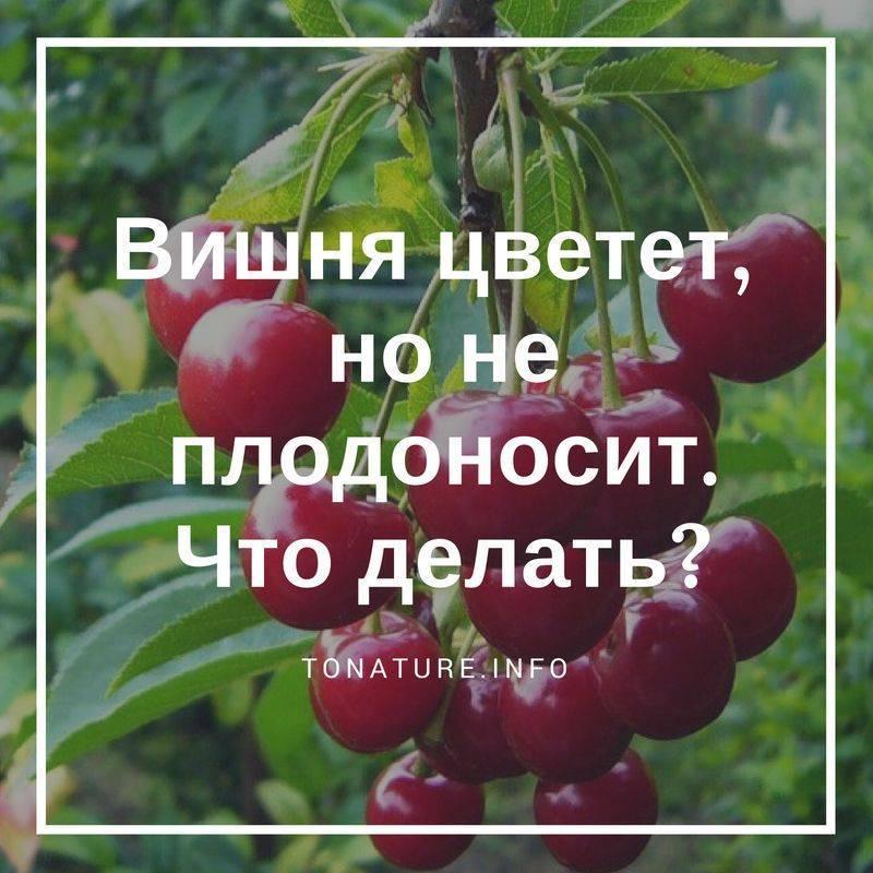 Почему и что делать если вишня не плодоносит