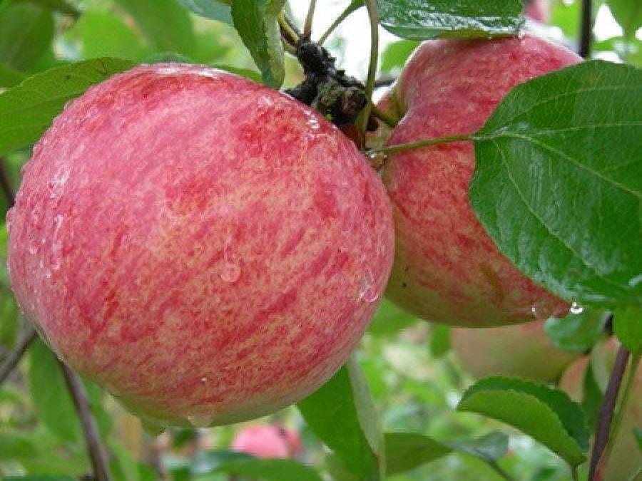Сорт яблок анис полосатый: описание и фото, особенности посадки и ухода, болезни и вредители