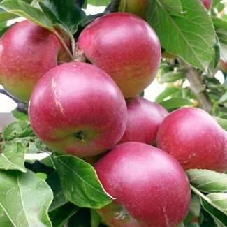 Сорт яблок звездочка: описание и характеристики, фото и особенности выращивания