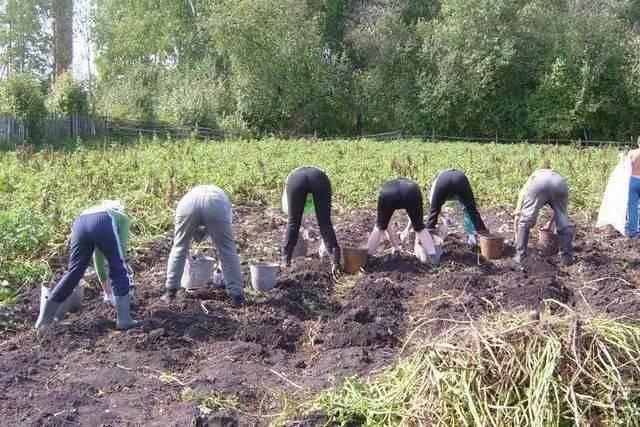 Сонник копать картошку крупных. к чему снится копать картошку крупных видеть во сне - сонник дома солнца