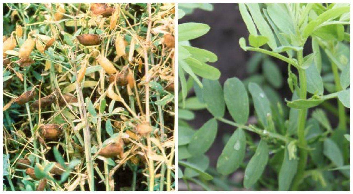 Чечевица – выращивание и сорта