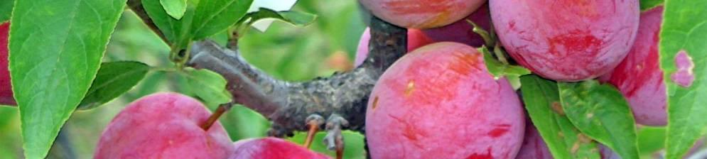 Шарафуга — гибрид абрикоса, сливы и персика