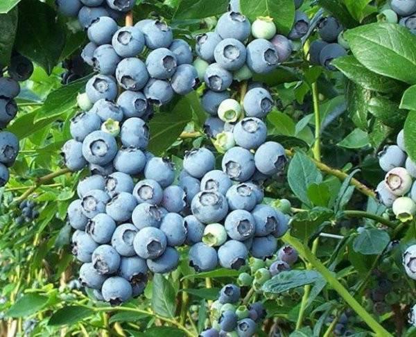 Голубика элизабет описание сорта — ягоды грибы