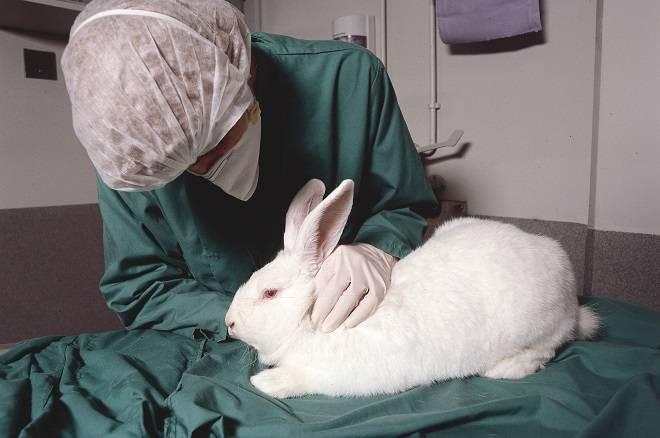 Симптомы и профилактика геморрагической болезни кроликов