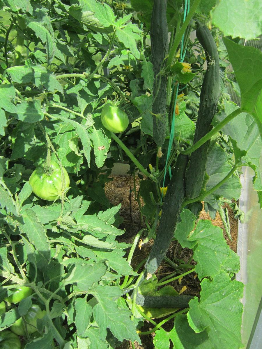 Гибрид огурцов «изумрудный поток f1» с длинными и вкусными плодами: фото, видео, описание, посадка, характеристика, урожайность, отзывы