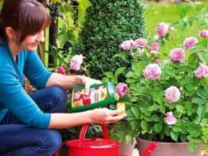 Весенняя подкормка роз для пышного цветения