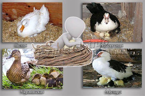 Несут ли цесарки яйца. как и в каком возрасте несутся цесарки