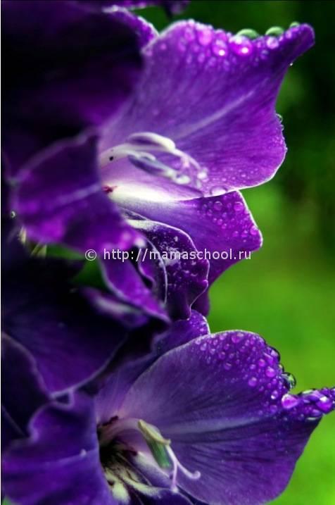 Надо ли срезать гладиолусы во время цветения. pravilnohranuedy.ru