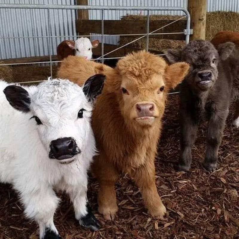 Карликовые породы коз