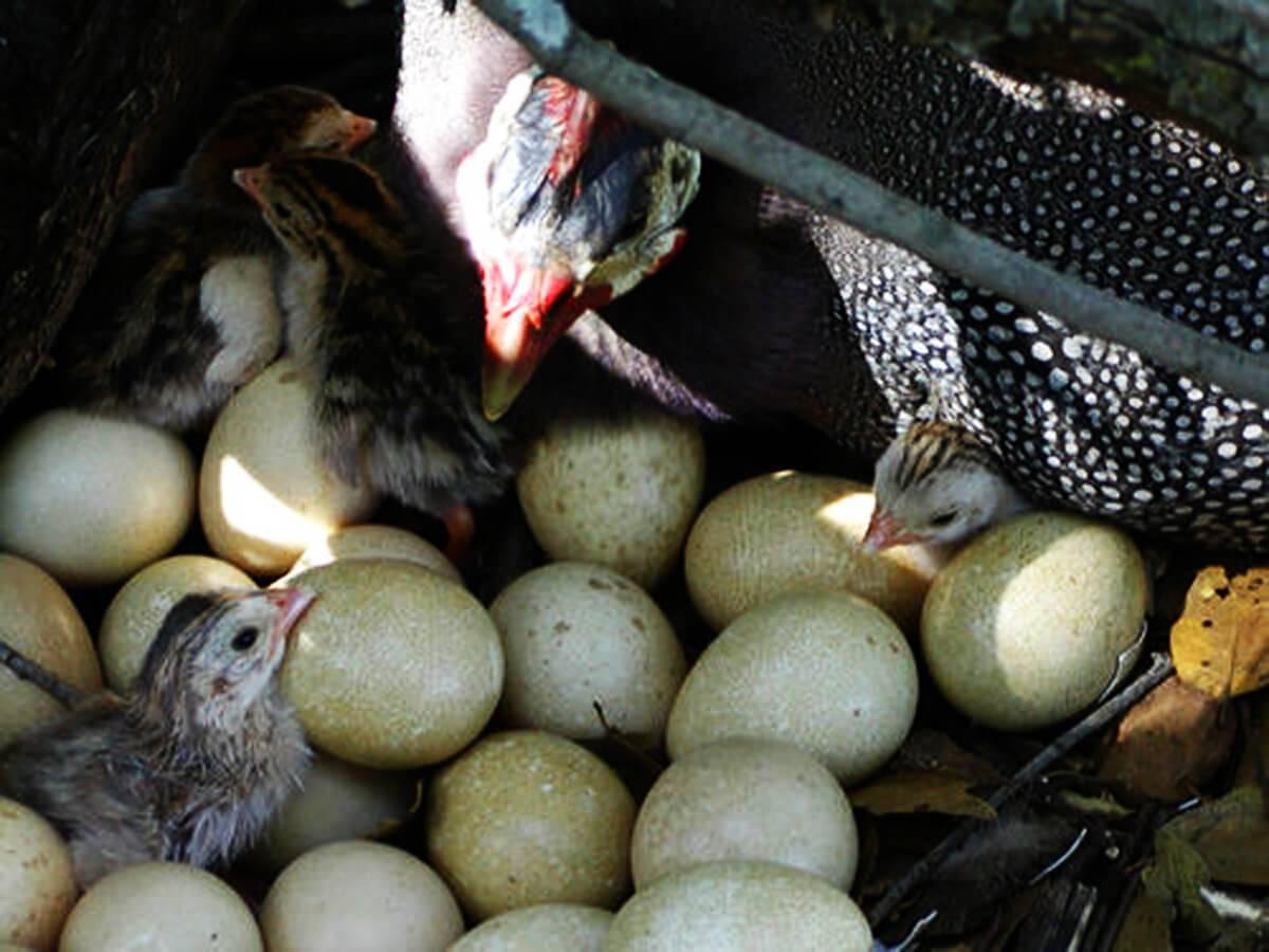 Яйца цесарки: полезные свойства, особенности продукта, применение