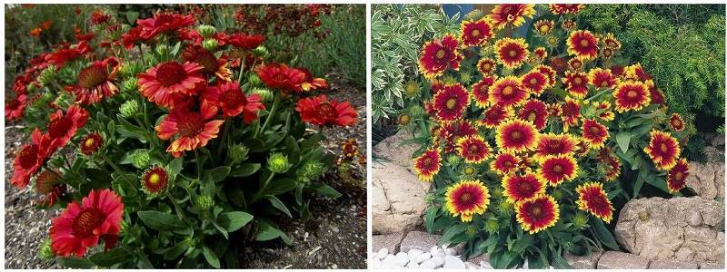 Гайлардия многолетняя: особенности посадки, выращивания из семян и ухода за этим цветком в открытом грунте